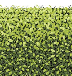 Green Tree Wall on isolated vector image vector image