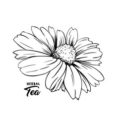 chamomile bud hand drawn ink pen vector image