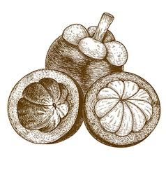 Engraving mangosteen vector