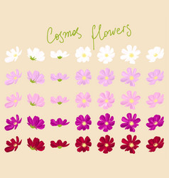 set of cosmos flowers vector image