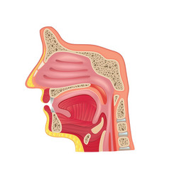 nose anatomy isolated vector image
