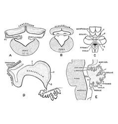 Development of cerebellum vintage vector