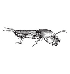 Mole cricket vintage vector