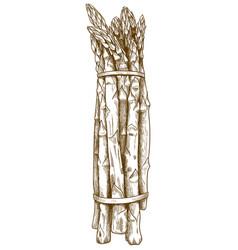 engraving asparagus vector image