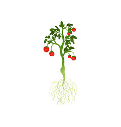 green plant with ripe cherry tomatoes and long vector image