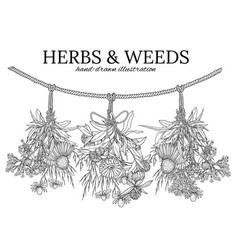 Three bouquets of medicinal herbs hanging on a vector