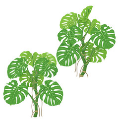 Monstera plants isolated vector