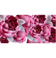 pink peony flowers background watercolor vector image