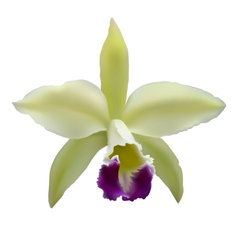 orchid flower vector image