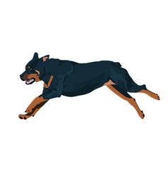 Rottweiler dog runs during the training vector