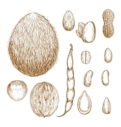 Sketches of nuts beans and seeds vector image