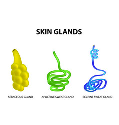 Structure of the glands of the skin sebaceous vector