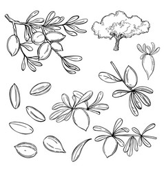 Argan plant branches with fruits sketch vector