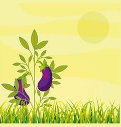 agriculture plantation vegetable eggplant vector image