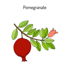 Pomegranate punica granatum branch with fruit and vector