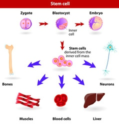 stem cells vector image vector image