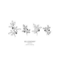 hand drawn blueberry set vector image