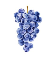 bunch of black grapes vector image