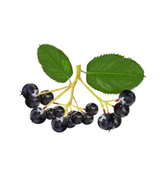 Chokeberry isolated on white background vector