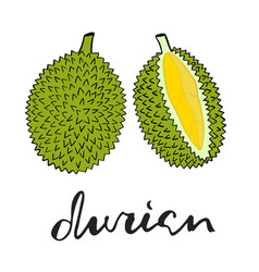 Painting green durian whole fruit and vector