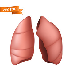 realistic human lungs anatomical body part of vector image