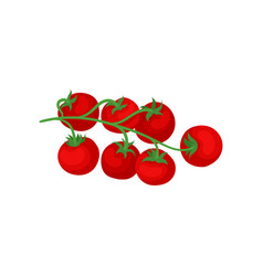branch with ripe red tomatoes natural and healthy vector image