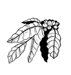 coffee branch with leaves hand drawn vintage style vector image