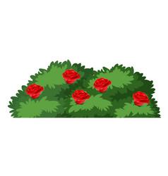 isolated rose bush on white background vector image