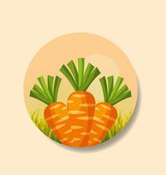 plantation vegetable harvesting carrot vector image