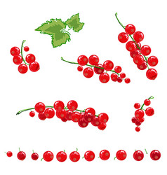 red currant set vector image