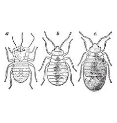 Bedbug vintage vector