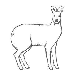 hand drawn musk deer sketch on white vector image