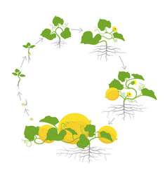 Crop of melon plant circular round growth stages vector