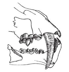 Saber toothed cat vintage vector