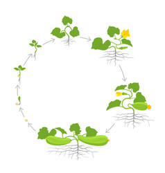 Crop of zucchini plant circular round growth vector