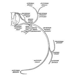 Distribution of a spinal nerves vintage vector