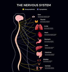 human nervous system infographics vector image