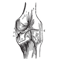 Knee joint vintage vector