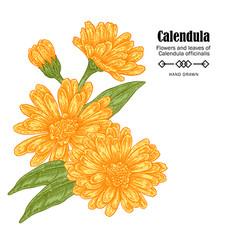 Calendula flowers on white vector