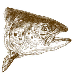 engraving of salmon head vector image