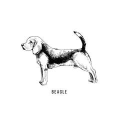 hand drawn beagle vector image