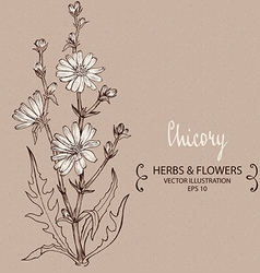 White Chicory vector image
