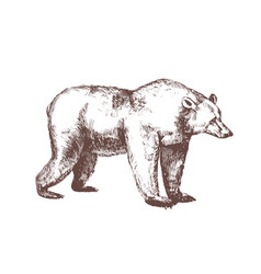 brown bear hand drawn with contour lines on white vector image
