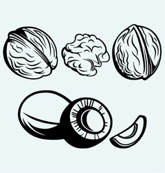 Coconut and walnut vector