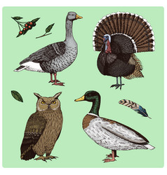 Domestic and wild birds turkey and duck goose vector