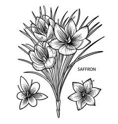 graphic saffron flowers vector image