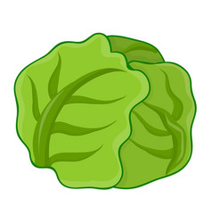 green cabbage isolated vector image