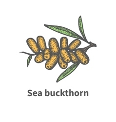 Hand-drawn bunch of ripened juicy sea buckthorn vector image
