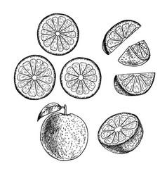 hand drawn set of orange sketch vector image