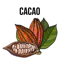 Hand drawn whole and half cacao fruits with leaves vector image
